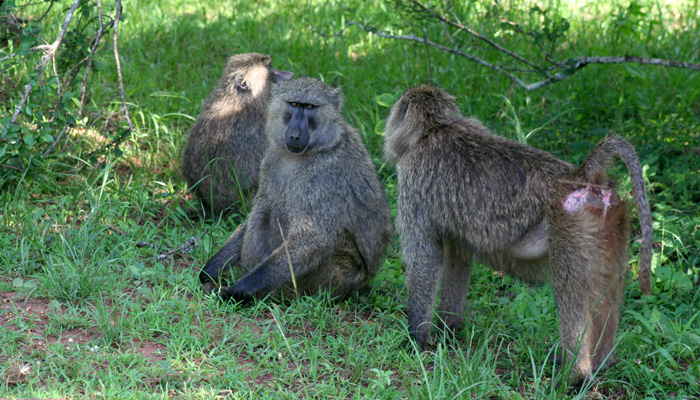 Rwanda baboons in Nyungwe forest Rwanda