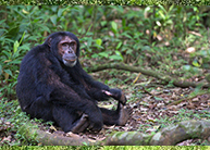 14-days-chimp-safari