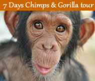 chimps and gorilla tour uganda