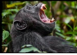 Chimpanzee-habituation-Uganda