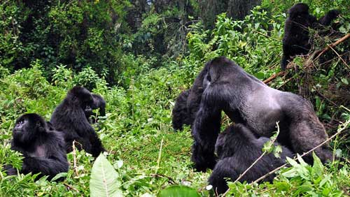 What are the Best Months of the Year for Rwanda Gorilla Safaris? - Rwanda Safari News