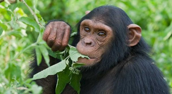 3 Days Chimpanzee Trekking Safari Kibale Uganda, Chimp Trek Safari Trip Uganda Kibale Forest Park