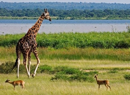 5 Days Uganda Wildlife Safari in Murchison Falls Park , Chimpanzee Trek Safari in Kibale Forest
