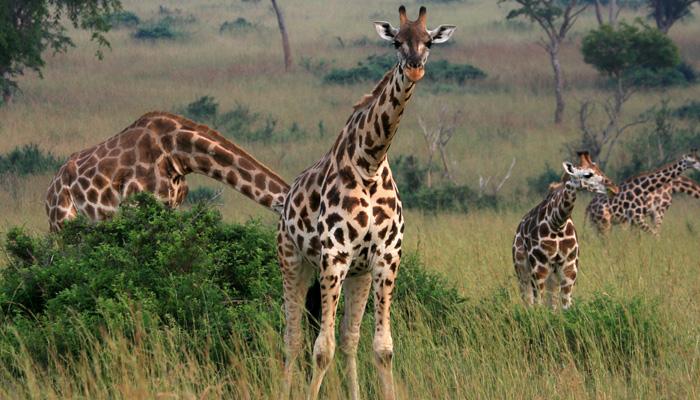 Girafee Murchison falls