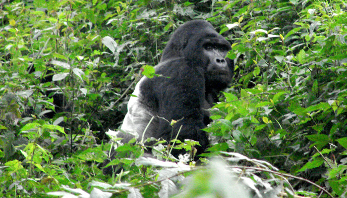 silver back Gorilla in Bwindi