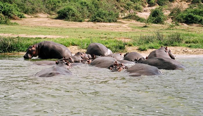 Hippopotamus in Queen Elizabeth