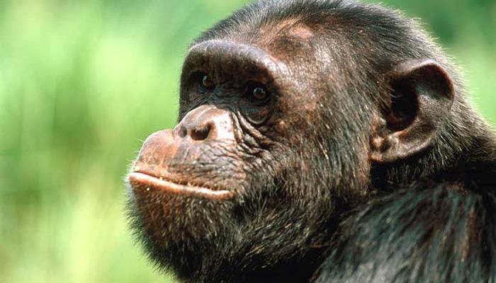 Ngamba Island Chimps