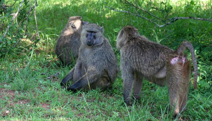 Rwanda baboons