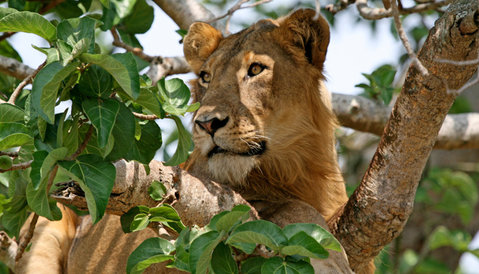 Uganda Wildlife Safaris, Uganda Wildlife Safari, Wildlife Safaris in Uganda
