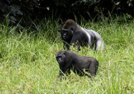 3-days-congo-gorillas