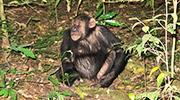 chimpanzee kibale