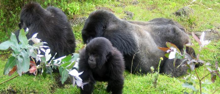 gorillarwanda