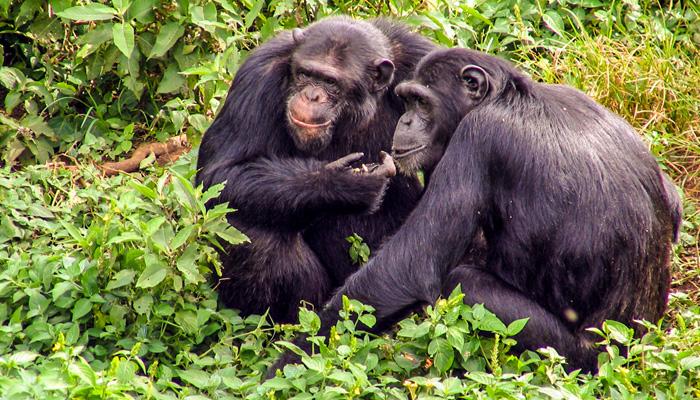 Kibale forest chimpanzee