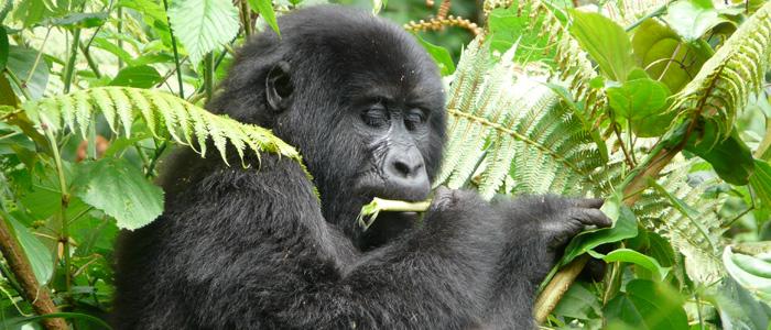 mountain gorilla in mgahinga