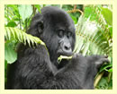 3 Days Gorilla Safari to Mgahinga Park