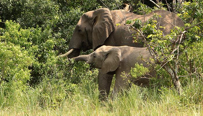 Uganda elephant