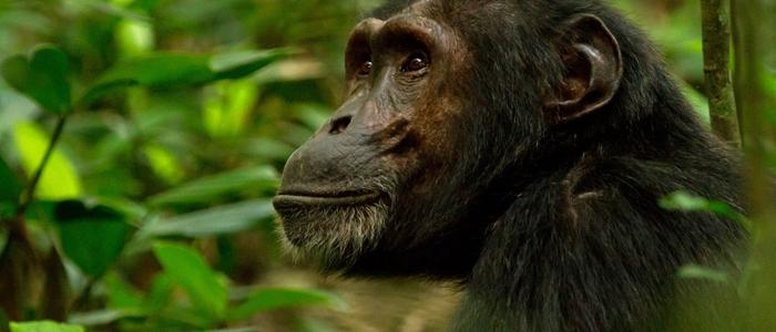 kibale-chimp