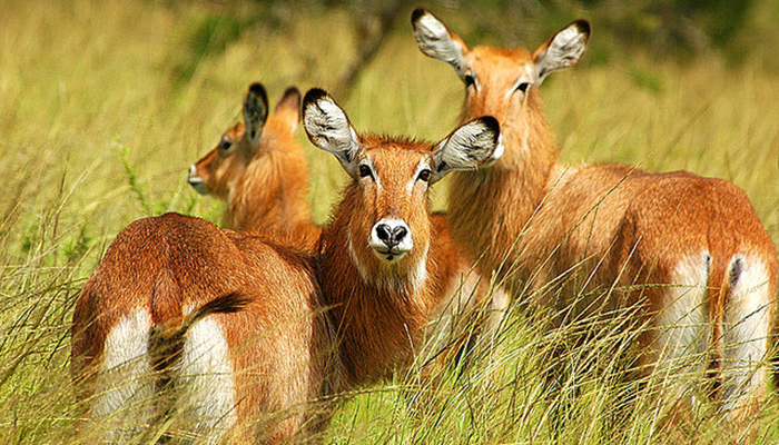4 Days wildlife safari to Rwanda and Uganda