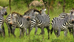 zebra-mburo national park