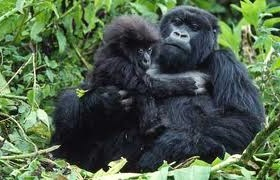 gorilla and the young one