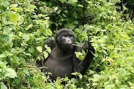 gorilla in the leaves
