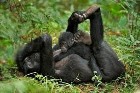 gorilla ttracking in uganda