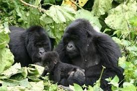 gorilla volcanoes national park rwanda