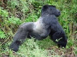 gorilla streches