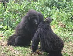 montain gorillas playing
