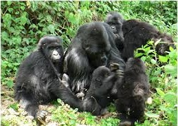 gorilla family in rwanda