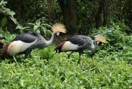 uganda cranes birding safaris