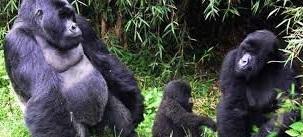gorilla group
