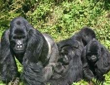 gorilla groups