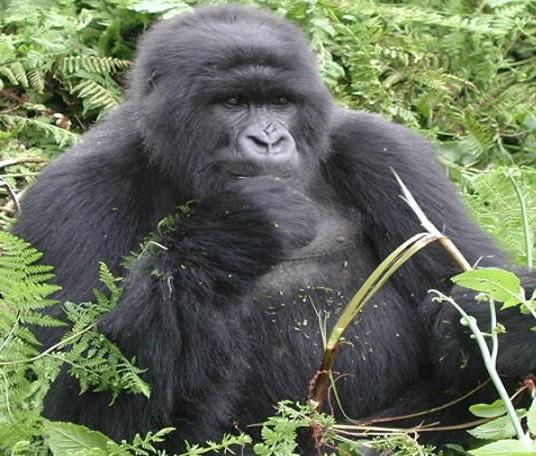 MountainGorillaRwanda