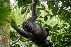 dmountain gorilla
