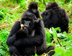 mountain gorillas feeding