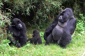 gorilla tracking safaris