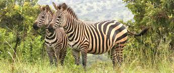 zebra in akagera np
