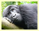 2 days rwanda gorilla Safari adventure