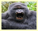 3 Days Gorilla Trek Safari