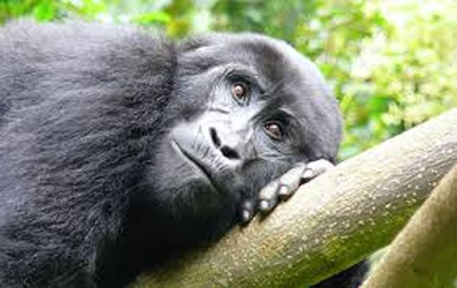 about-gorilla-trekking-safaris