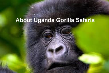 Gorilla Safaris In Uganda National Parks
