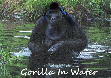 Uganda Gorilla swimming in water