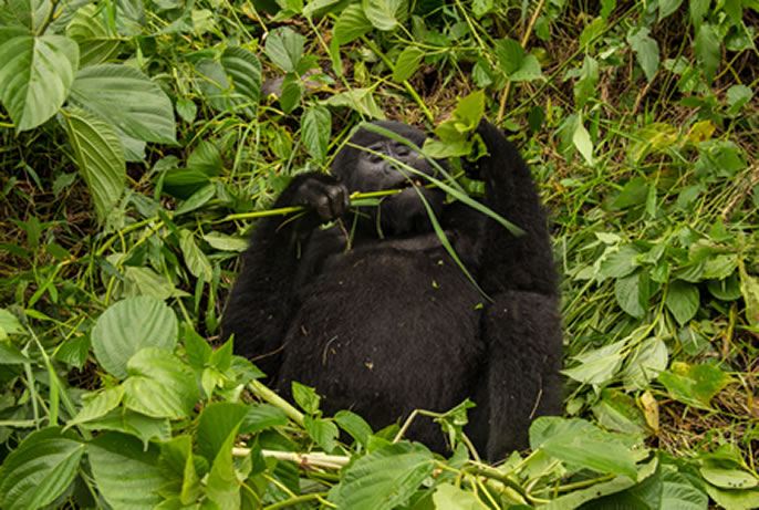 Do Gorillas Sleep
