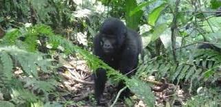 gorilla tracking safaris to uganda