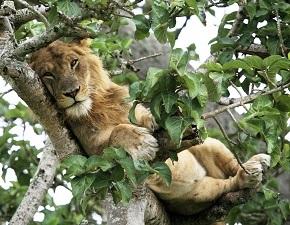 tree climbing lion in Queen Elizabeth NP