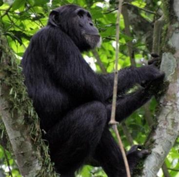 chimpanzee nyungwe forest np