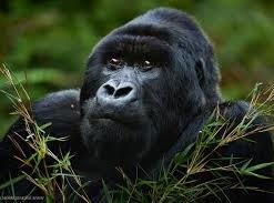 Rwanda-gorilla safaris