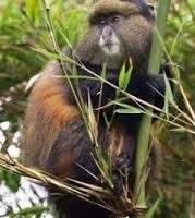 golden monkey trackng in uganda