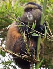 golden monkey trackng in uganda